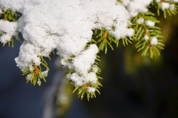 illustration arbre sapin conifere hiver neige
